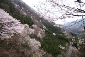 県道井川雨畑線ヤマザクラ