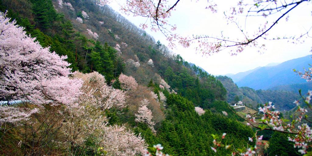 県道井川雨畑線/山桜