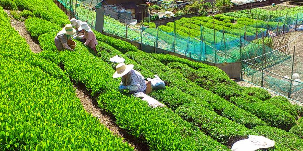 雨畑/茶摘み