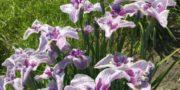 花ショウブ園祭り 京ヶ島
