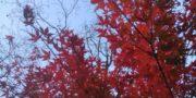 早川町紅葉情報11月10日の様子