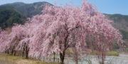3/29 桜の開花情報