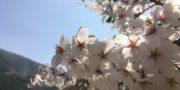 4/4 桜の開花状況