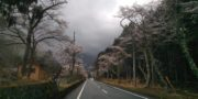 4/6  桜の開花状況