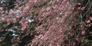 4/3 桜の開花状況