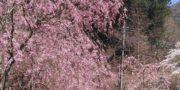 4/8 桜の開花状況